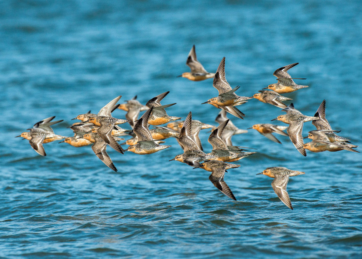 Islandske Ryler på trækket - Knutts auf dem Zug - Red Knots on migration ..................................................................... Foto : Bo L. Christiansen  ©