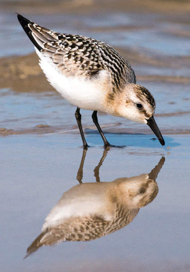 Sandløber med spejlbillede - Sanderling mit Spiegelbild - Sanderling with reflection .....................................Foto : Bo L. Christiansen  ©