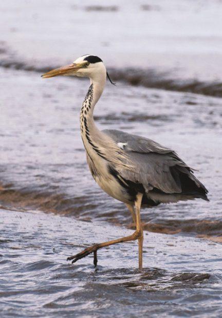 Fiskehejre - Graureiher - Grey Heron  Foto : Bo L. Christiansen  ©