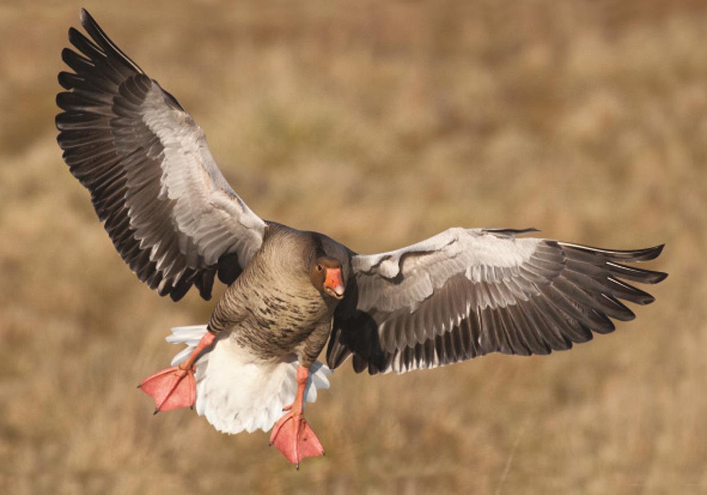 Grågås ved landing - Graugans beim landen - Greylag Goose at the landing  Foto : Bo L. Christiansen  ©