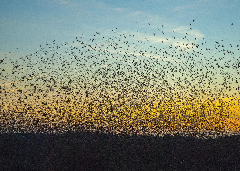 Sort Sol / Kæmpesværm af Stære - Die schwarze Sonne / Riesenschwarm von Stare - Black Sun / Megaswarm of Starlings  Foto : Bo L. Christiansen  ©